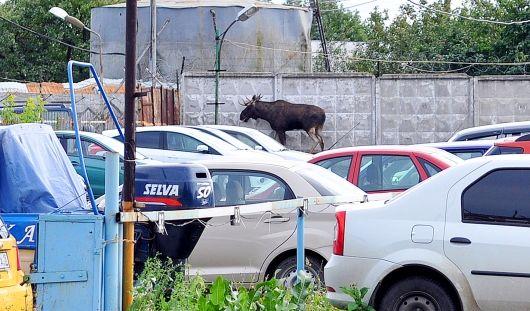В Ижевске снова заметили лося