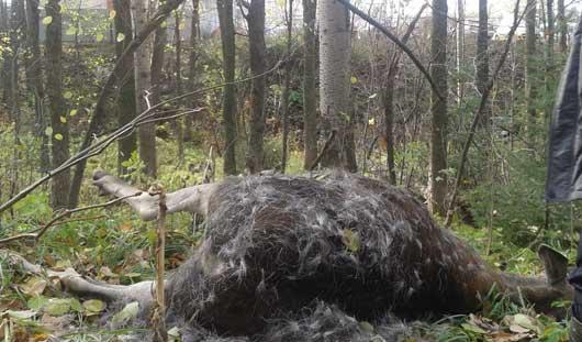 В Ижевске нашли мертвого лося