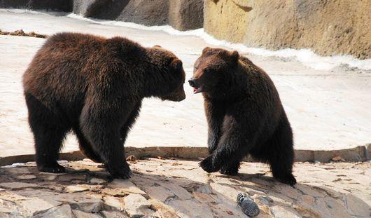 Как бурым медведям помогают готовиться к зиме в ижевском зоопарке