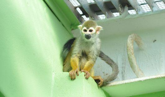 Обезьянки саймири родились в ижевском зоопарке