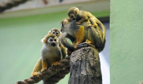 Фотофакт: четыре детеныша миниатюрной обезьянки саймири родились в ижевском зоопарке