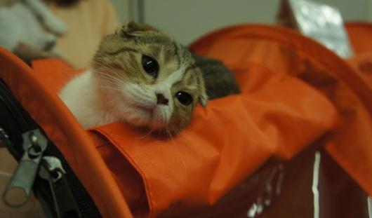 Выставка кошек в Ижевске: 5 самых редких пород для нашего города