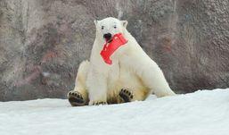 Белые медведи из ижевского зоопарка сыграют свадьбу и съедят торт из рыбы