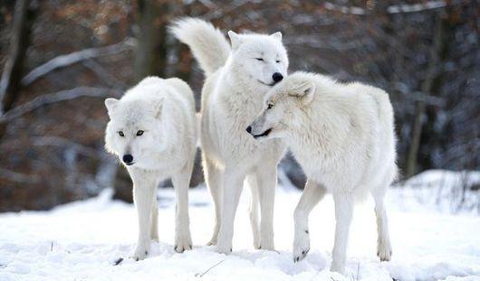 Полярные волки появились в ижевском зоопарке