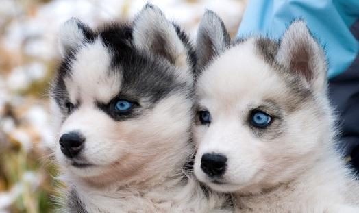 Владимир Путин подарил щенка хаски многодетной семье из Архангельска
