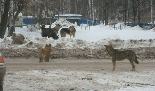 Крик о помощи: жители ул. Дзержинского в Ижевске страдают от своры собак