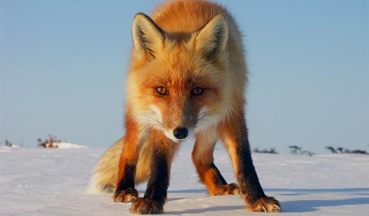 В Удмуртии две лисицы напали на домашних собак