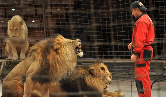 В новой программе цирка участвуют львы из зоопарка Ижевска