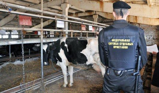 200 коров арестовали за долги судебные приставы у животноводов из Удмуртии