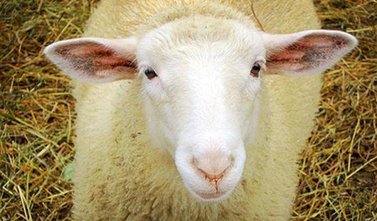 Сотрудники полиции Удмуртии раскрыли кражу овцы