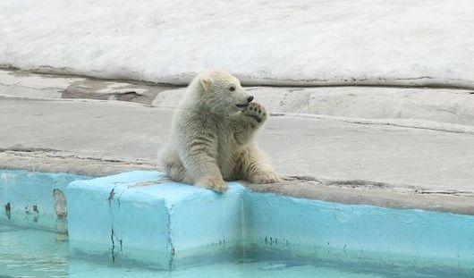Недавно родившийся в Ижевском зоопарке белый медвежонок вышел на прогулку