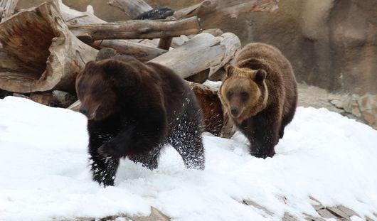 Фотофакт: в ижевском зоопарке бурые медведи радуются приходу весны