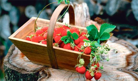 Как в Ижевске получить полное лукошко душистой садовой земляники