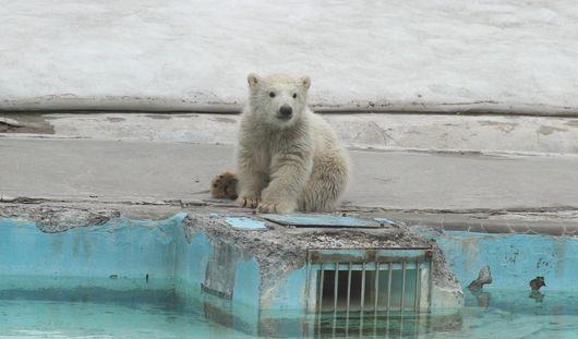 Конкурс на имя белому медвежонку объявили в зоопарке Ижевска