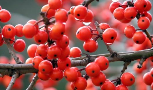 Красная рябина может стать символом Удмуртии