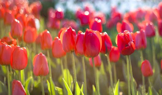 Клумбы на улицах Ижевска украсили тюльпанами