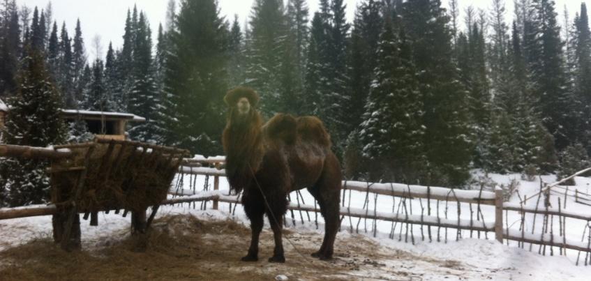 Рядом с селом Бураново в Удмуртии поселились два верблюда