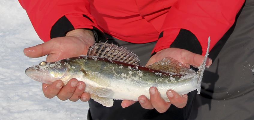 Рыбацкие байки: ижевчанин взял 19 рыб с одной лунки!