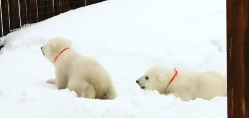 В Ижевске посетителям Зоопарка впервые показали белых медвежат-близнецов
