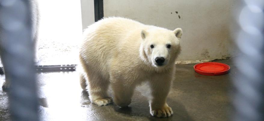 Тайны Ижевского зоопарка: как живут белые медведи