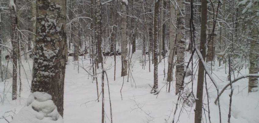 В Удмуртию завезли пятнистых оленей