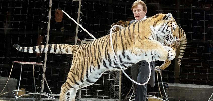 Дрессировщик-дирижер: в Ижевск приехал знаменитый укротитель тигров