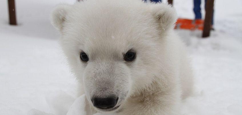 Белые медвежата из зоопарка Ижевска стали героями съемок японского телевидения