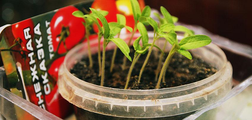 Огород на подоконнике: как вырастить дома овощи и зелень
