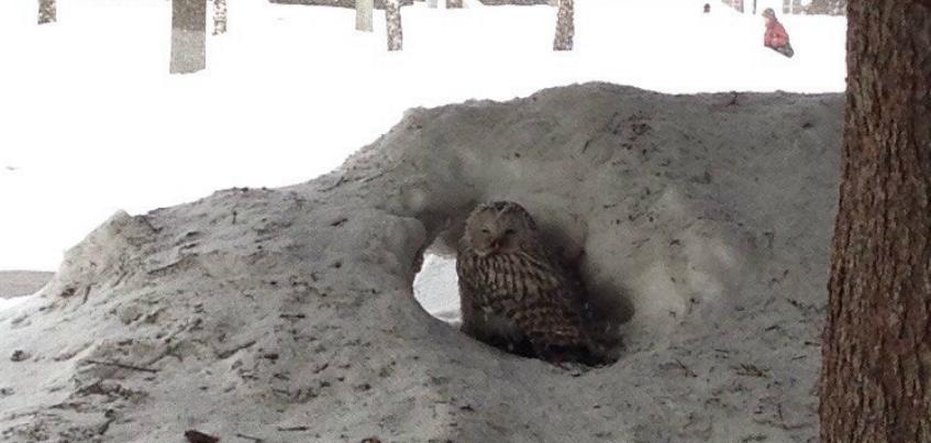 Ижевчане увидели сову в сквере около Вечного огня