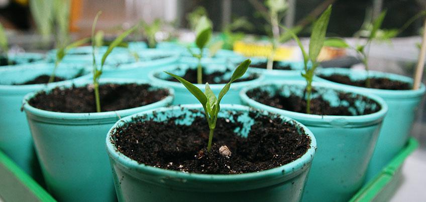 Огород на подоконнике: как вырастить дома весеннюю зелень