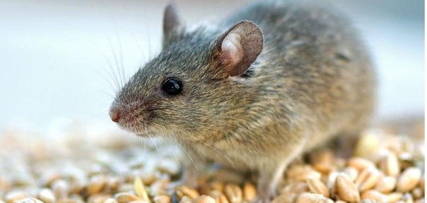 Ижевчанам расскажут, как уберечься от «мышиной лихорадки»