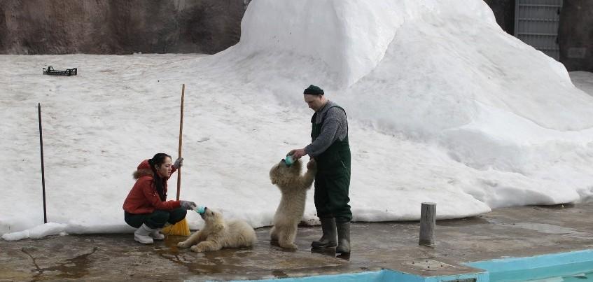 Видео: Белых медвежат в Ижевском зоопарке вывели на прогулку