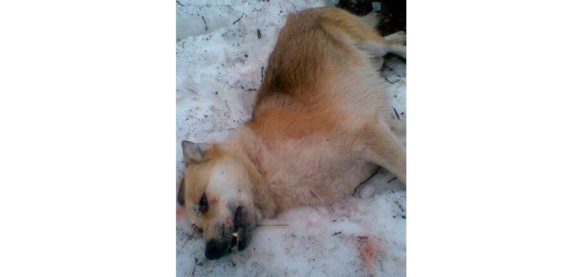 В Ижевском приюте «Кот и пёс» застрелили собаку