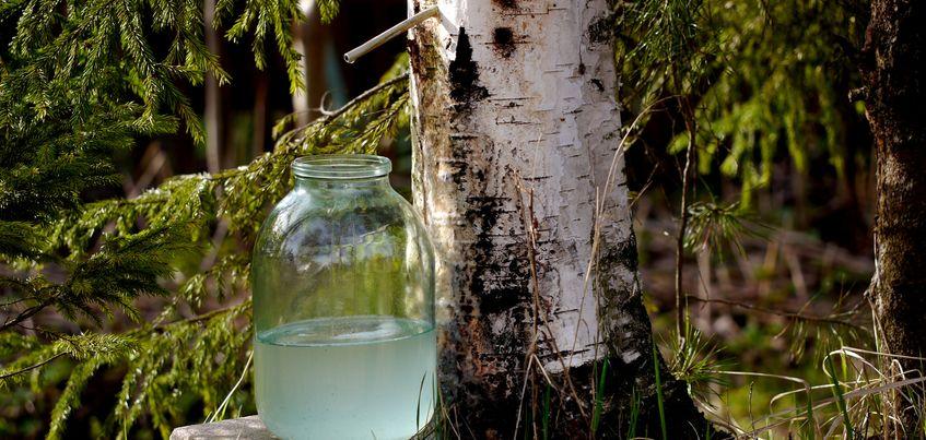 Чем отличается березовый сок, который продают в магазинах Ижевска, от натурального