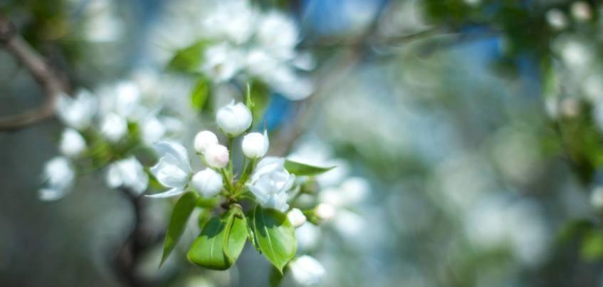 Фото: На Центральной площади Ижевска расцвели яблони