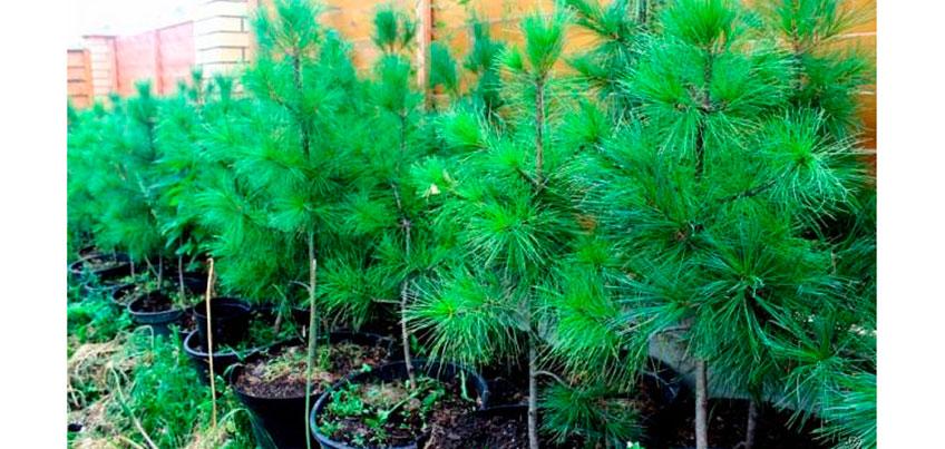 ПАРТИЯ РОСТА и «Средуралнеруд» посадят сосновый лес