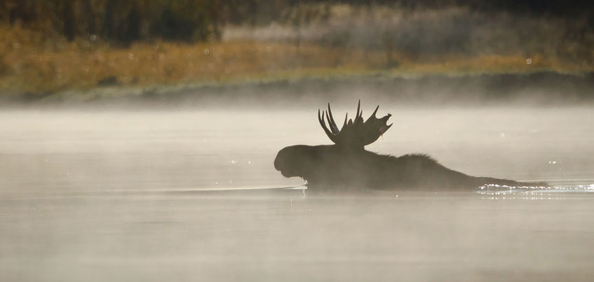 Переплывающий пруд лось и еще 5 диких животных в центре Ижевска