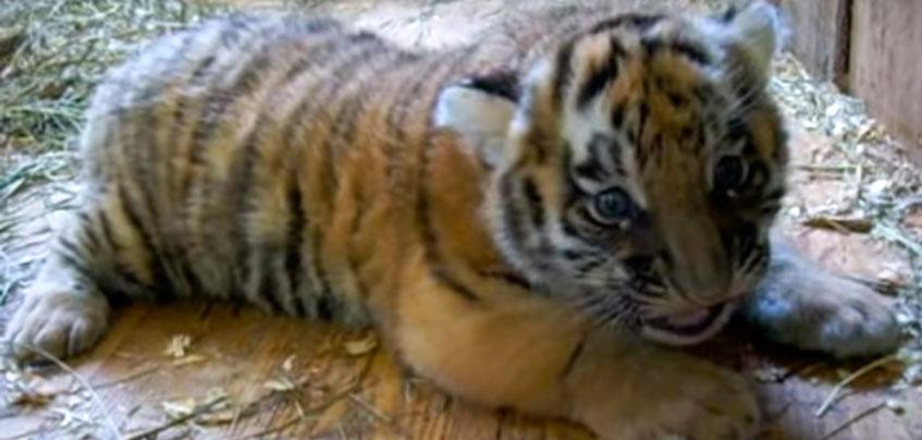 У ижевского тигра Шерхана появились дети, которые будут жить в белорусском зоопарке