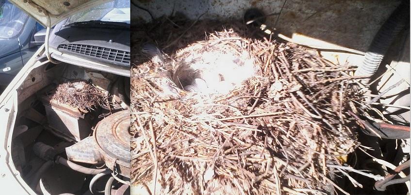 В автомобиле ижевчанина птицы свили гнездо и отложили яйца