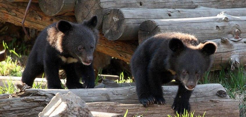 Пополнение в Ижевском зоопарке: на прогулку начали выводить гималайских мишек