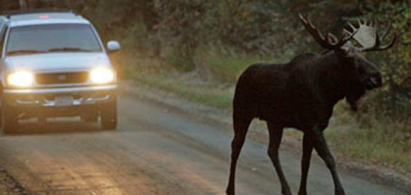Две аварии с участием диких животных произошли в прошедшие выходные в Удмуртии