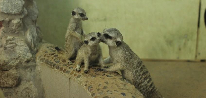 Фото: Маленькие сурикаты, гималайские медвежата и кенгуренок в Ижевском зоопарке