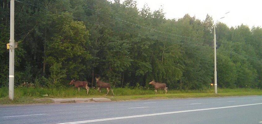 Фотофакт: В День города по Ижевску прогулялись четыре лося