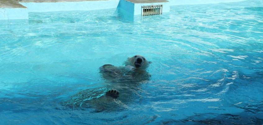 Видео: Белый мишка в Ижевском зоопарке спасается от жары в бассейне