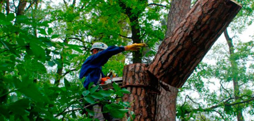 Аварийные деревья в Ижевске убирают по заявкам жителей