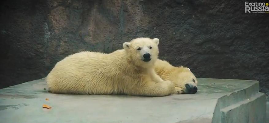 В Ижевске проект Exciting Russia снял ролик о белых медвежатах-близнецах из зоопарка