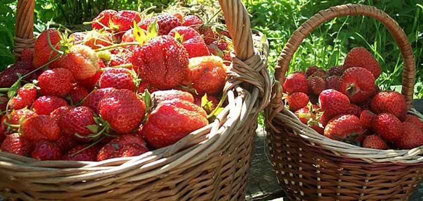 Сезон заготовок: что ижевчанам приготовить из ягод?