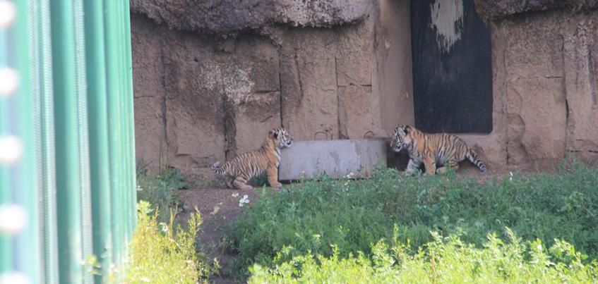 Амурские тигрята-близнецы из ижевского Зоопарка вышли на прогулку