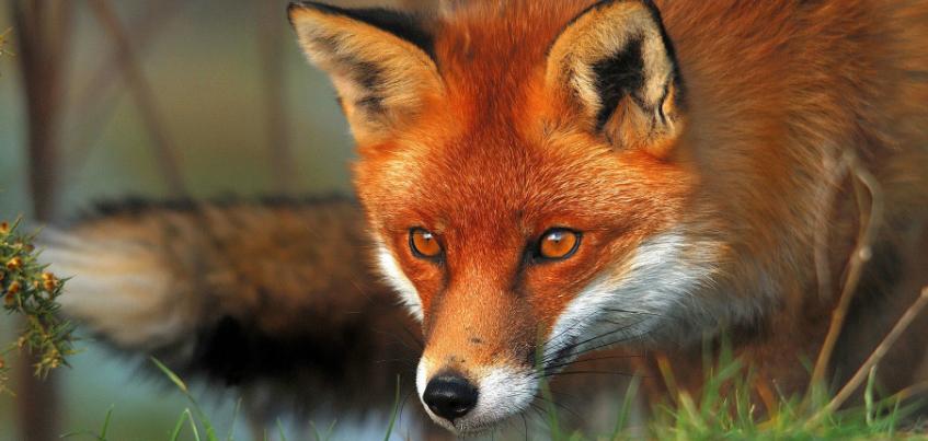 В Сарапуле мужчина пострадал от укусов бешеной лисы