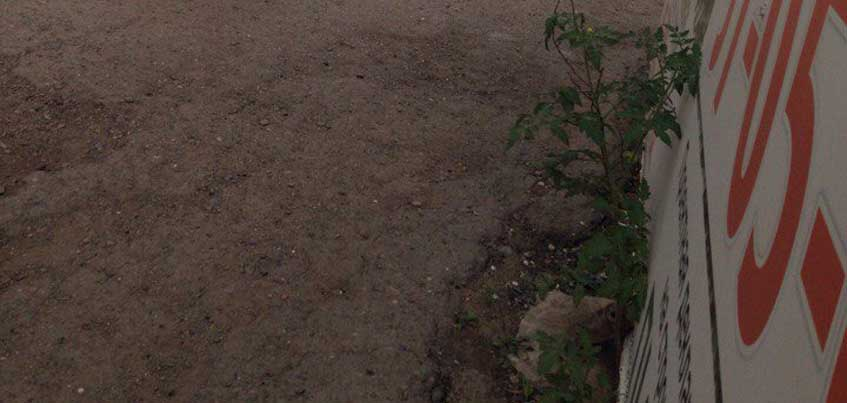 В Ижевске на Гагарина возле ларька вырос куст томата